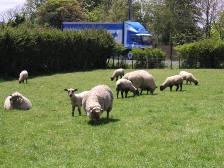 NZ_farmgardensheep.jpg