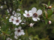 NZ_manukaflower.jpg