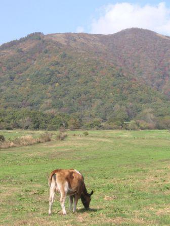 hiruzen_cow.JPG