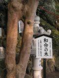 kiyotakisan_wagotree.JPG