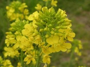 spring_nanohana.JPG