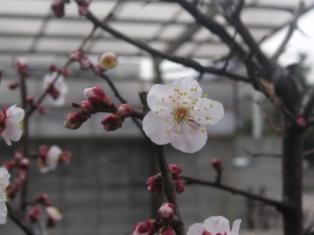 spring_ume.JPG
