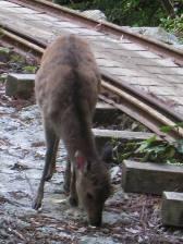 yakushima_deer.JPG