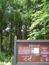 yakushima_uchusugi.JPG
